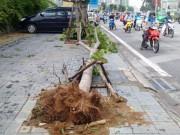 Tin tức trong ngày - Sau bão số 1, cây xanh Hà Nội bật gốc, lộ bầu bọc nilon