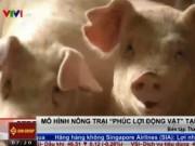 Thị trường - Tiêu dùng - Lợn trong trang trại ở Hàn Quốc được... nghe nhạc