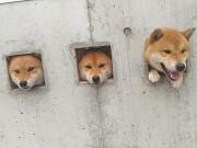 """Tranh vui - Sự thật đáng yêu đằng sau 3 chú chó bị """"giam cầm"""""""