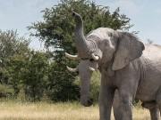 """Phi thường - kỳ quặc - Giật mình thấy """"voi 2 vòi"""" ở châu Phi"""