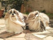 Phi thường - kỳ quặc - Hai chú chó Nhật lông dài thướt tha, đẹp như... chó cái