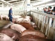 Thị trường - Tiêu dùng - Phát hiện lợn chứa chất cấm ở Hà Nội, Hải Phòng