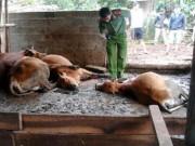 Tin tức trong ngày - Hoang mang vì ngủ dậy thấy bò chết hàng loạt