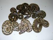 Phi thường - kỳ quặc - Người đàn ông Mỹ chết bí ẩn cùng 70 con rắn trong nhà