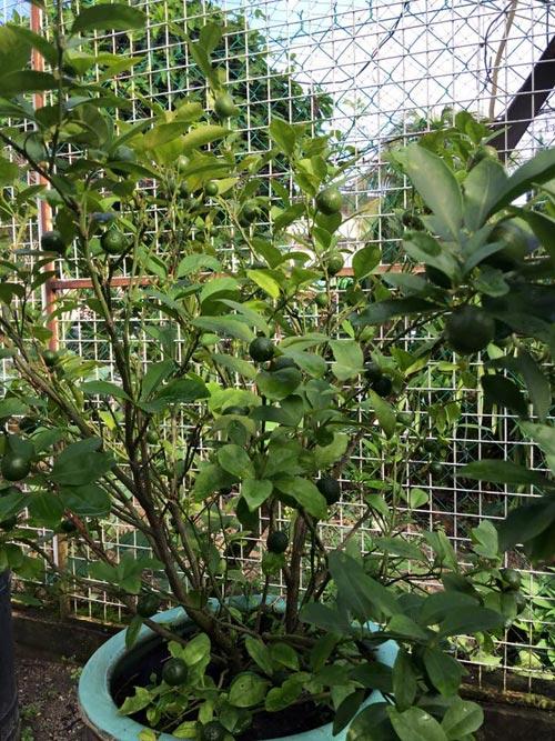 Mẹ Việt đưa giống cây sang Malaysia phủ kín vườn 200m2 - 9