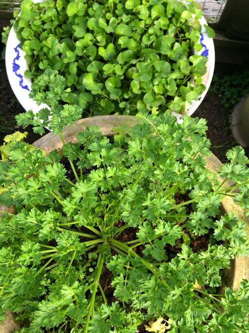 Mẹ Việt đưa giống cây sang Malaysia phủ kín vườn 200m2 - 10