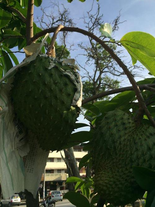 Mẹ Việt đưa giống cây sang Malaysia phủ kín vườn 200m2 - 12