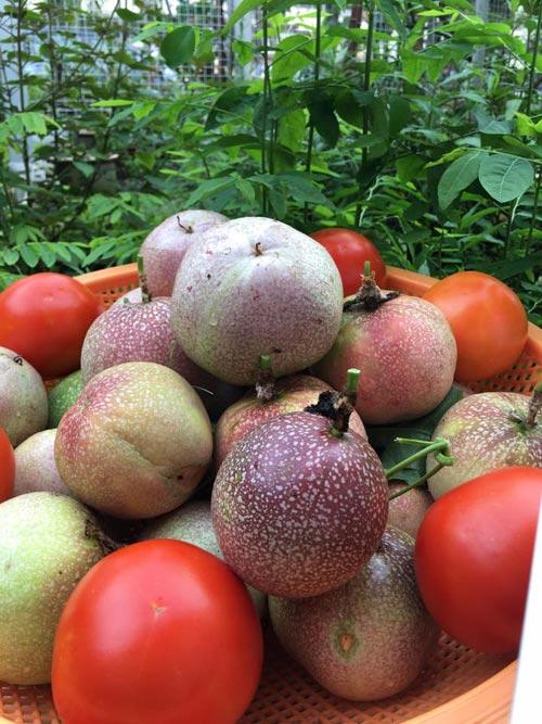 Mẹ Việt đưa giống cây sang Malaysia phủ kín vườn 200m2 - 5
