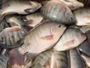 Thị trường - Tiêu dùng - Cá rô phi Việt đắt hàng ở Mỹ