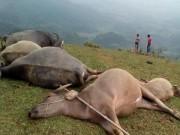 Tin tức trong ngày - Sét đánh, 5 con trâu chết cùng lúc trên đỉnh đồi