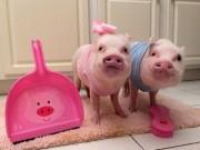 Tranh vui - Ngắm 2 chú lợn này, nhiều người đã từ bỏ ăn thịt lợn