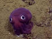 Phi thường - kỳ quặc - Phát hiện con mực tím mắt tròn quái lạ dưới đáy biển