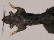 Phi thường - kỳ quặc - Tìm thấy loài động vật có vú bí ẩn nhất thế giới