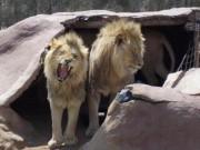 Thế giới - Nam Phi: Bị đưa vào chuồng sư tử, bé 12 tuổi tử vong