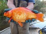 """Thế giới - Cá vàng thả về tự nhiên lớn """"khủng"""" và nguy hiểm"""