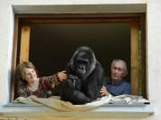 Phi thường - kỳ quặc - Cặp vợ chồng nuôi tinh tinh như con suốt 18 năm