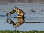 Phi thường - kỳ quặc - Cá sấu khổng lồ nuốt gọn chuột túi trưởng thành trong 30 giây