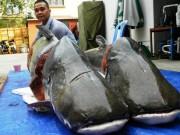 """Tin tức trong ngày - Cặp cá tra nặng gần 400kg """"bơi"""" về Sài Gòn"""