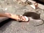 Phi thường - kỳ quặc - Chuột khổng lồ sắp chết vẫn cắn chân cô gái trẻ trả thù