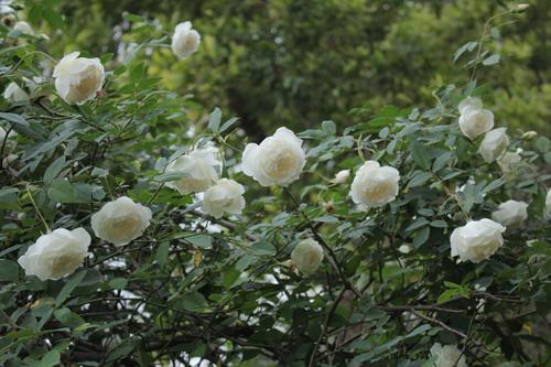 Choáng với vườn hồng đẹp như tây ở ngoại ô Hà Nội - 5