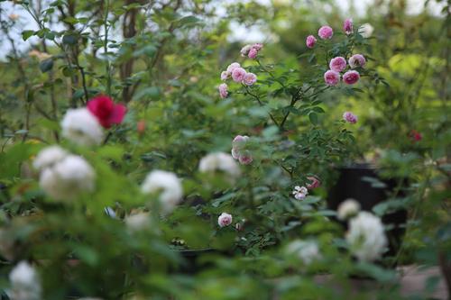 Choáng với vườn hồng đẹp như tây ở ngoại ô Hà Nội - 4