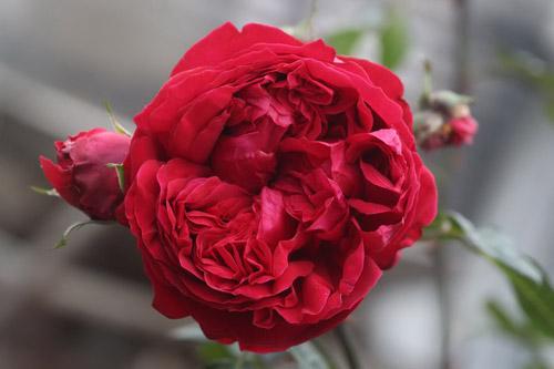 Choáng với vườn hồng đẹp như tây ở ngoại ô Hà Nội - 8