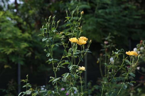 Choáng với vườn hồng đẹp như tây ở ngoại ô Hà Nội - 14