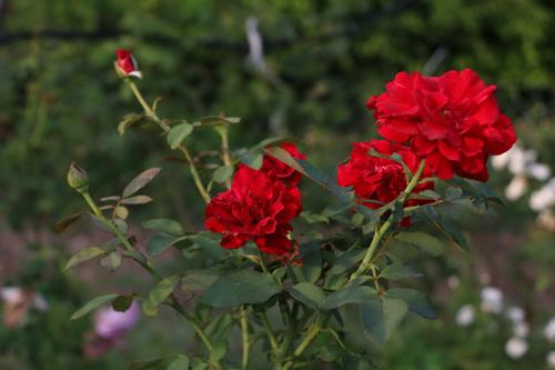 Choáng với vườn hồng đẹp như tây ở ngoại ô Hà Nội - 15