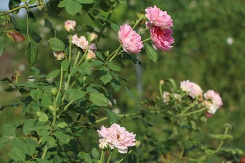 Choáng với vườn hồng đẹp như tây ở ngoại ô Hà Nội - 11