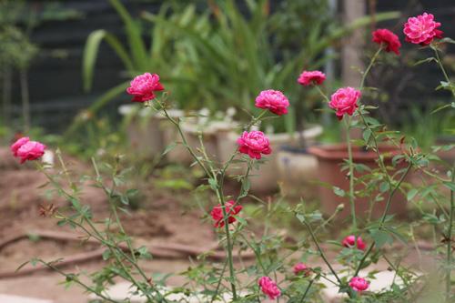 Choáng với vườn hồng đẹp như tây ở ngoại ô Hà Nội - 9
