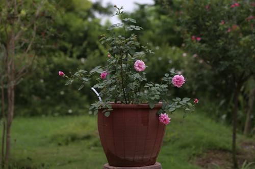 Choáng với vườn hồng đẹp như tây ở ngoại ô Hà Nội - 2