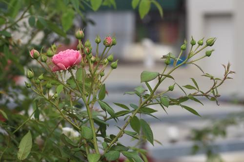 Choáng với vườn hồng đẹp như tây ở ngoại ô Hà Nội - 1