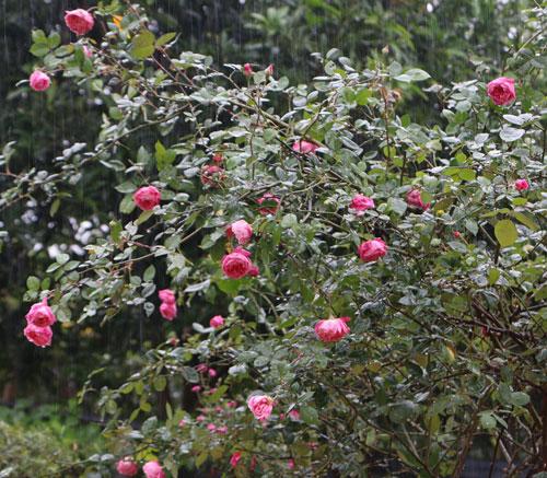 Choáng với vườn hồng đẹp như tây ở ngoại ô Hà Nội - 12
