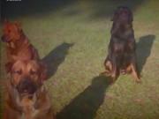 Thế giới - Mỹ: Kinh hoàng đàn chó tấn công, ăn thịt ông cụ 83 tuổi