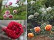 Bạn trẻ - Cuộc sống - Choáng với vườn hồng đẹp như tây ở ngoại ô Hà Nội