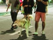 Tin tức trong ngày - Chó nhe nanh, thè lưỡi tung tăng dạo phố đi bộ Hồ Gươm