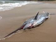 Thế giới - Cá kiếm khổng lồ 91kg dạt bờ biển nước Anh