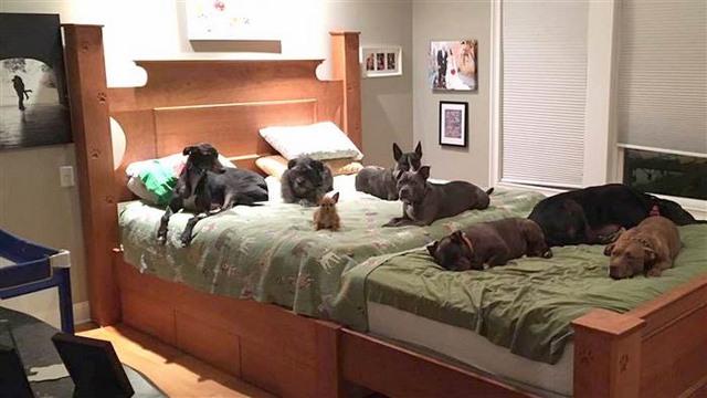 Vợ chồng đóng giường siêu rộng ngủ cùng 8 chú chó hoang - ảnh 2