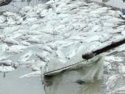 Tin tức trong ngày - Cá mú, hàu nuôi lồng bè chết bất thường ở Hà Tĩnh