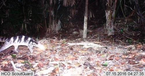 Cầy quý hiếm được cho đã tuyệt chủng xuất hiện ở Huế