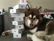 Thế giới - Thiếu gia giàu nhất TQ mua 8 chiếc iPhone 7 cho chó cưng