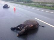 Tin tức trong ngày - Hy hữu: Hai con trâu bị ô tô tông chết trên cao tốc