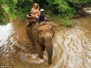"""Thế giới - Campuchia: Voi giết chủ rồi lao theo """"bạn gái"""" vào rừng"""