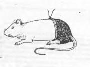 Phi thường - kỳ quặc - Nghiên cứu đời sống tình dục của chuột đoạt giải Ig Nobel