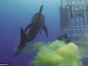 """Phi thường - kỳ quặc - Video: Cá mập """"sát thủ đại dương"""" bất ngờ bĩnh một bãi trước mặt thợ lặn"""
