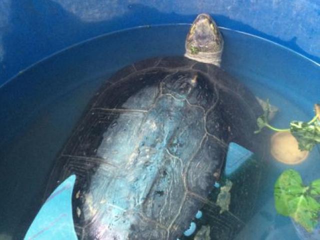 Cụ rùa 9kg mắc cạn trong ao tôm ở Bạc Liêu