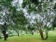 """Du lịch - """"Đột nhập"""" vườn bưởi trăm tuổi ở Yên Bái"""