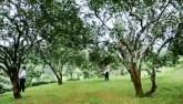 """""""Đột nhập"""" vườn bưởi trăm tuổi ở Yên Bái"""