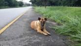 Kết cục buồn của chú chó đợi chủ suốt một năm bên đường