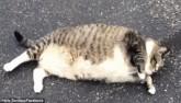 Mèo Mỹ béo phì núng nính cố nằm ngửa mãi không được